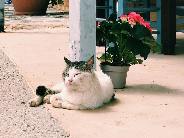 Peaceful cat laying outdoors by a potted flower Potted Flower Potted Plant On The Road On The Ground Ground Street Peaceful Relaxed Relaxed Moments Relaxing Moments Relaxation Pets Mammal Domestic Animal Themes Cat Domestic Animals Animal Domestic Cat Nature Plant Feline One Animal No People Relaxation Flowering Plant Portrait Flower Vertebrate