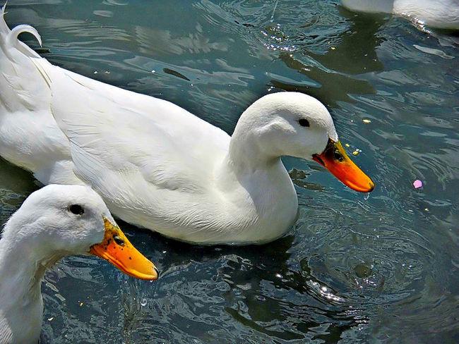 Beak Bird Bird Photography Duck Ducks Swimming Two Animals White Omaha Nebraska Omaha, Nebraska Heartland Of America Park At Heartland Of America Park