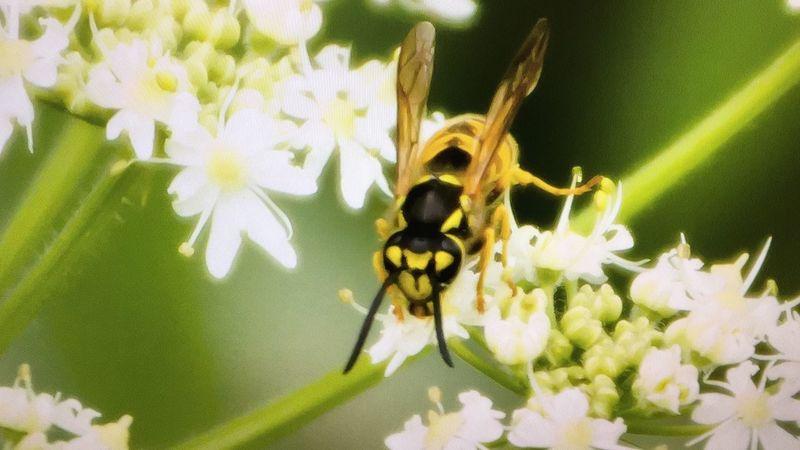 Wasp Nature