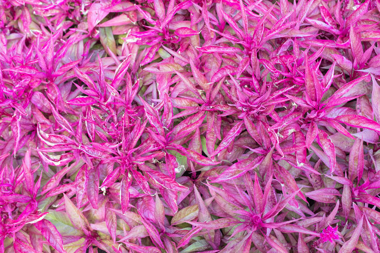 Bright pink foliage Full Frame Backgrounds Flower Flowering Plant Close-up Freshness Purple Plant No People Pink Color Beauty In Nature Inflorescence Flower Head Nature Fragility Petal Vulnerability  Growth Abundance High Angle View