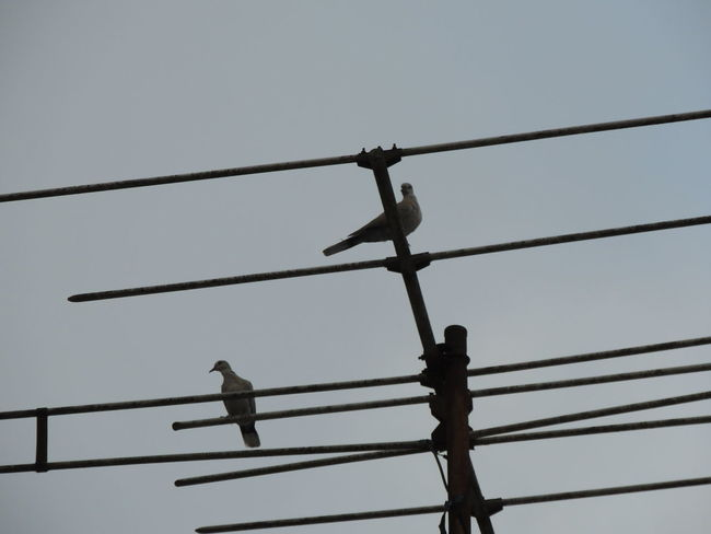 Animal Animal Themes Animal Wildlife Animals In The Wild Bird Cable Clear Sky Connection Day Electricity  Group Of Animals Low Angle View Nature No People Outdoors Perching Power Line  Power Supply Sky Technology Telephone Line Vertebrate