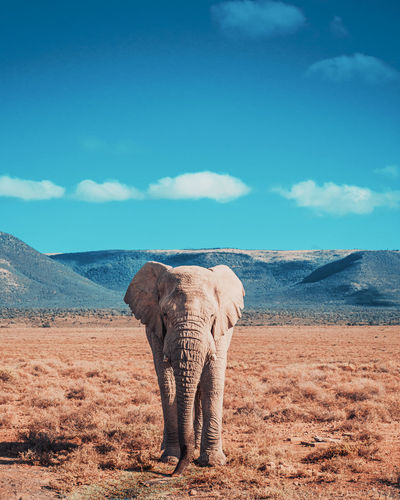 Elephant standing on field in desert against sky