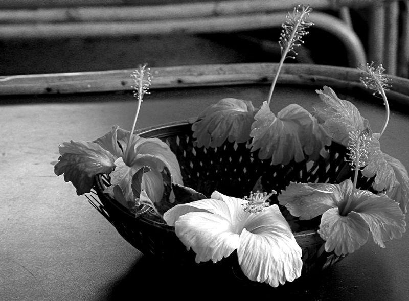 Black & White Flowers From My Garden Hibiscus 🌺