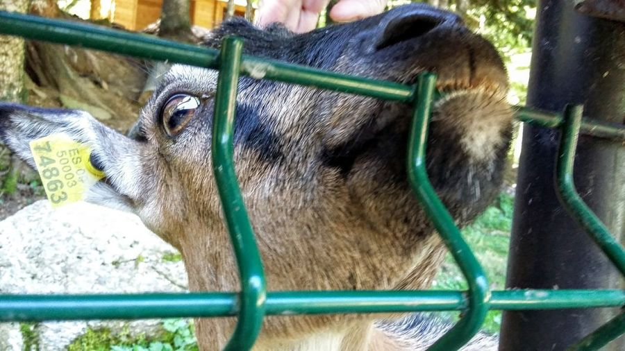 Hungry Goat Goat Hungry Animal Themes One Animal Close-up Nature Nature