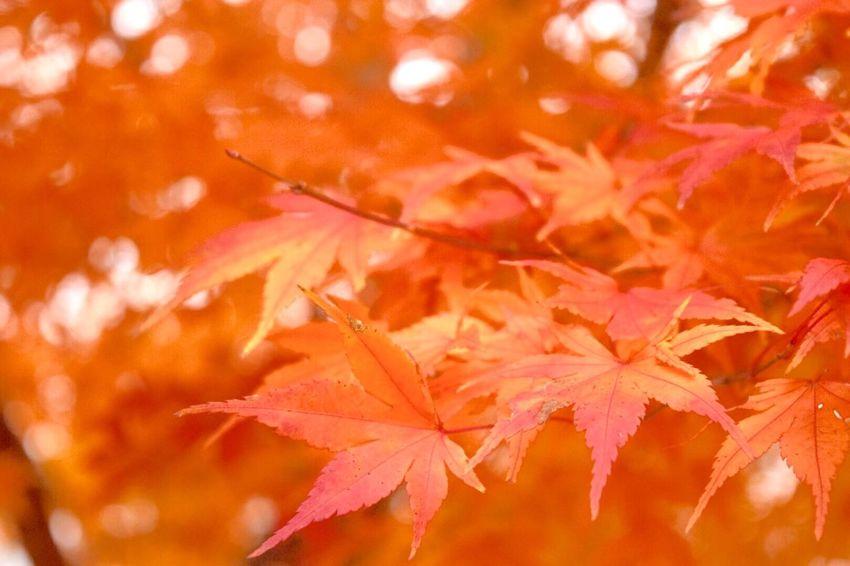 もみじ 秋 紅葉 Maple Colored Leaves Autumn キミに届け With You 笑顔 Smile やっと撮りに行けたょ(≧◡≦)ぼやけ感じが好き♡ おひさしぶり~ヾ(´︶`♡)ノ♬☆♪