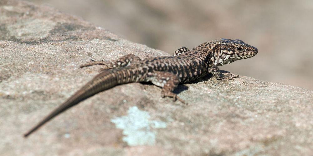 lizard Lizards
