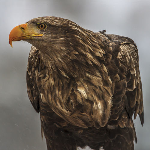 A close-up portrait of a white-tailed eagle in Norway. Bird Animal Themes One Animal Animal Vertebrate Bird Of Prey Animal Wildlife Animals In The Wild Close-up No People Focus On Foreground Eagle Nature Beak Day Looking Eagle - Bird Looking Away Side View Outdoors Animal Head  Falcon - Bird White-tailed Eagle Snow Profile View