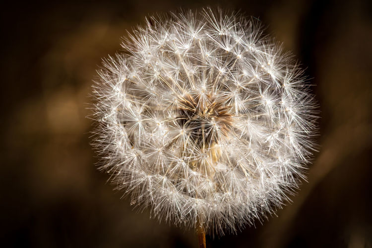 Dance of the Dandelion Autumn Nature Plant Seed Sunny Beauty Clear Close-up Dandelion Dandelion Seed Delicate Detail Dried Dry Focus On Foreground Fragile Glisten Macro Nature Puff Softness Springtime Summer Tan White Background