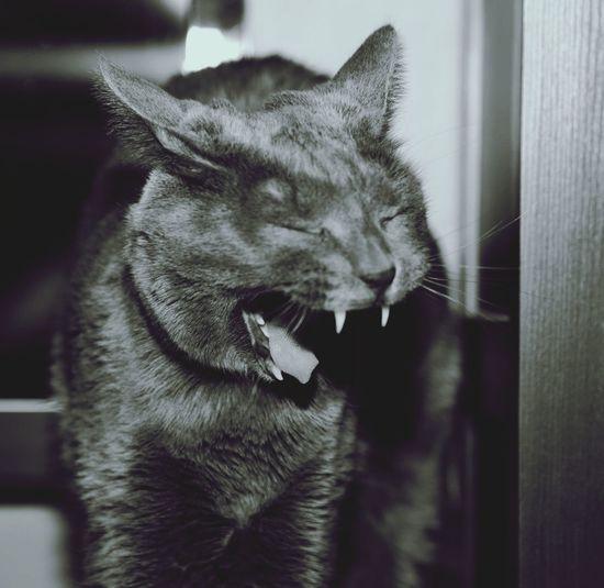 Roar Cats Of EyeEm Catstagram Cool Cats  Eyem Cute Cats He's only yawning! :-)
