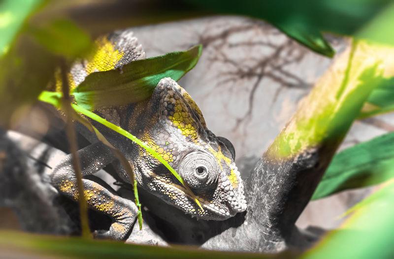 Panther chameleon (Chameleon Furcifer Pardalis Ambilobe), endemic reptile of Madagascar. Beautiful Exotic Furcifer Green Lizard Nature Nosy Reptile Ambilobe Animal Arboreal Branch Camouflage Chameleon Color Colorful Diurnal Endemic Insectivorous Leaf Macro Madagascar  Panther Pet Predator