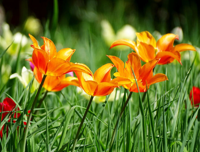Tulip Tulips Flower Collection Springtime Spring Flowers Nature_collection Flower Head Flower Petal Close-up Grass Plant Blooming