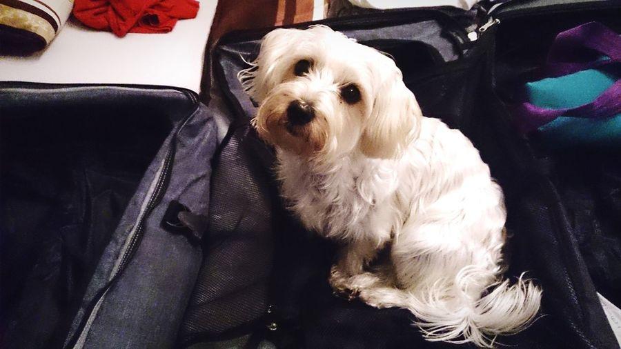 Koffer Packen Urlaub Verreisen Allein Traurig Hund Reisetasche Pets Sitting Dog Close-up