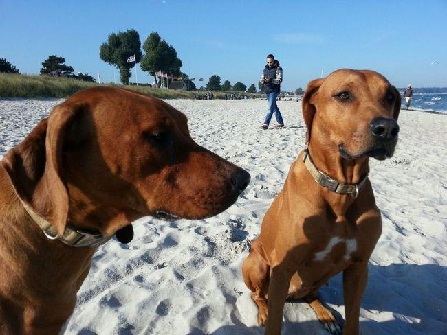 EyeEm Selects Dog Pets Domestic Animals Animal Animal Themes Outdoors Nature Sky Beach Liondog Löwenhund Rhodesian Ridgeback Rhodesianridgeback Ostsee Baltic Sea Hund Nofilter Projectrr Rr Two Animals