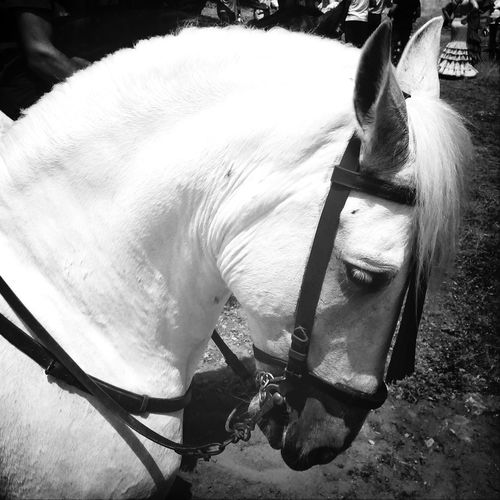 Horses Caballo ESPAÑOL Beautiful Black And White