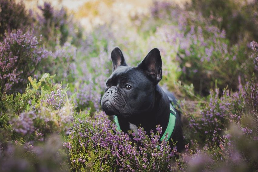 Flower Dog Heidelandschaft Outdoors Animal Themes Cute One Animal French Bulldog Animal Lying Down My Lovely Dog My Dogs Are Cooler Than Your Kids I Love My Dog Pet Portraits