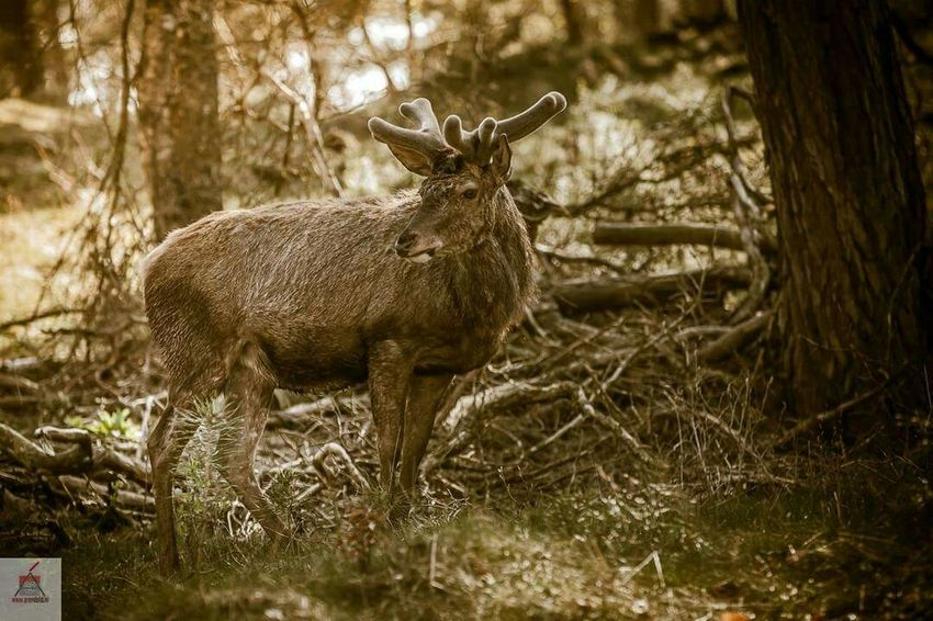 Canon 70-200 F2.8 L IS-II Nature Forrest Wildlife Canon Photography Canon5dmkii Deer Beautiful Beautiful Nature