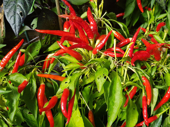chili Red Chili Pepper Freshness Green Color Pepper Vegetable Food And Drink Red Chili Pepper Close-up Food Spice Growth Plant No People Nature Plant Part Beauty In Nature High Angle View Day Wellbeing