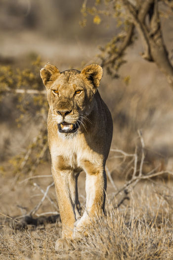 Lioness walking in forest