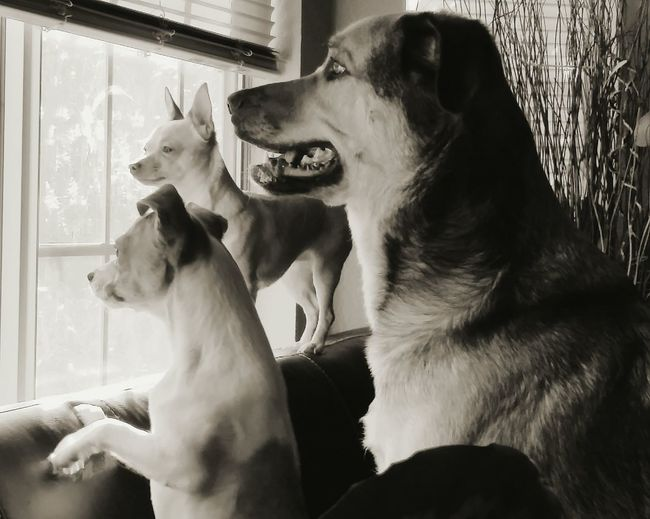 Dogs looking towards window at home