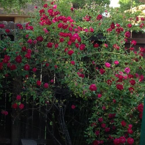 This rose has gone crazy this year ? Streamzoo Family Flowers,Plants & Garden