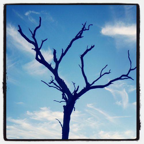 Dead Tree at Uluru, Apr 20 Uluru