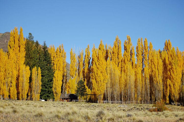 Poplar Trees - Patagonia - Argentina Autumn San Carlos De Bariloche Argentina Bariloche Patagonia Poplar Poplar Tree
