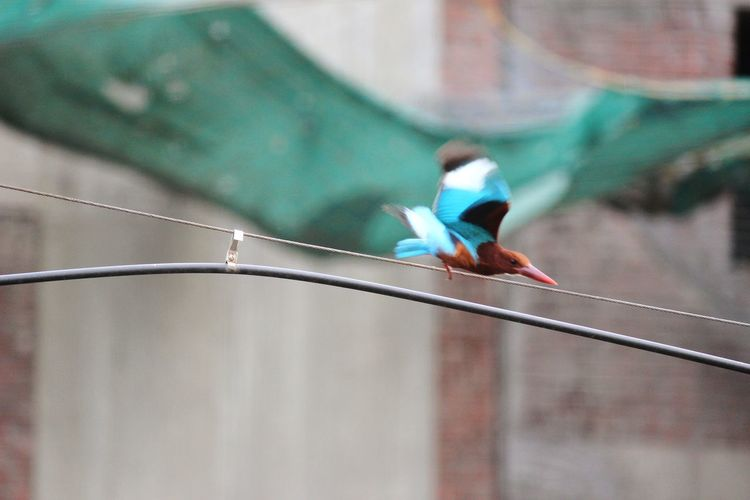 Kingfisher taking flight