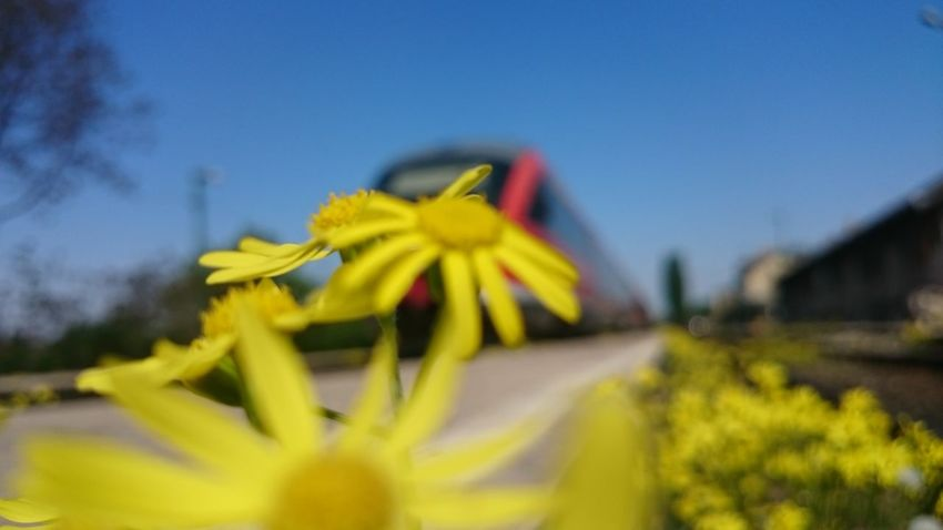 Flower Yellow Plant Fragility No People Nature Day Freshness Outdoors Close-up Flower Head Beauty In Nature Sky Train Train Station Esztergom