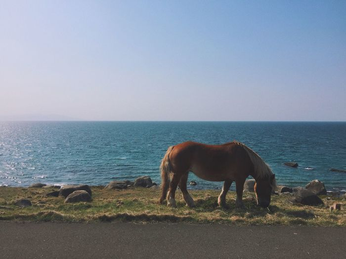 Horse grazing at beach against clear sky