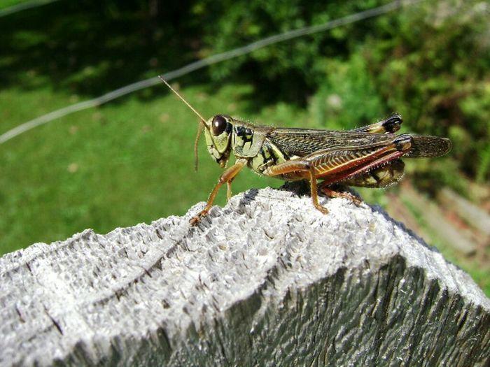Grasshoppa Grasshopper Fence Insects  Closeup Backyard NYC
