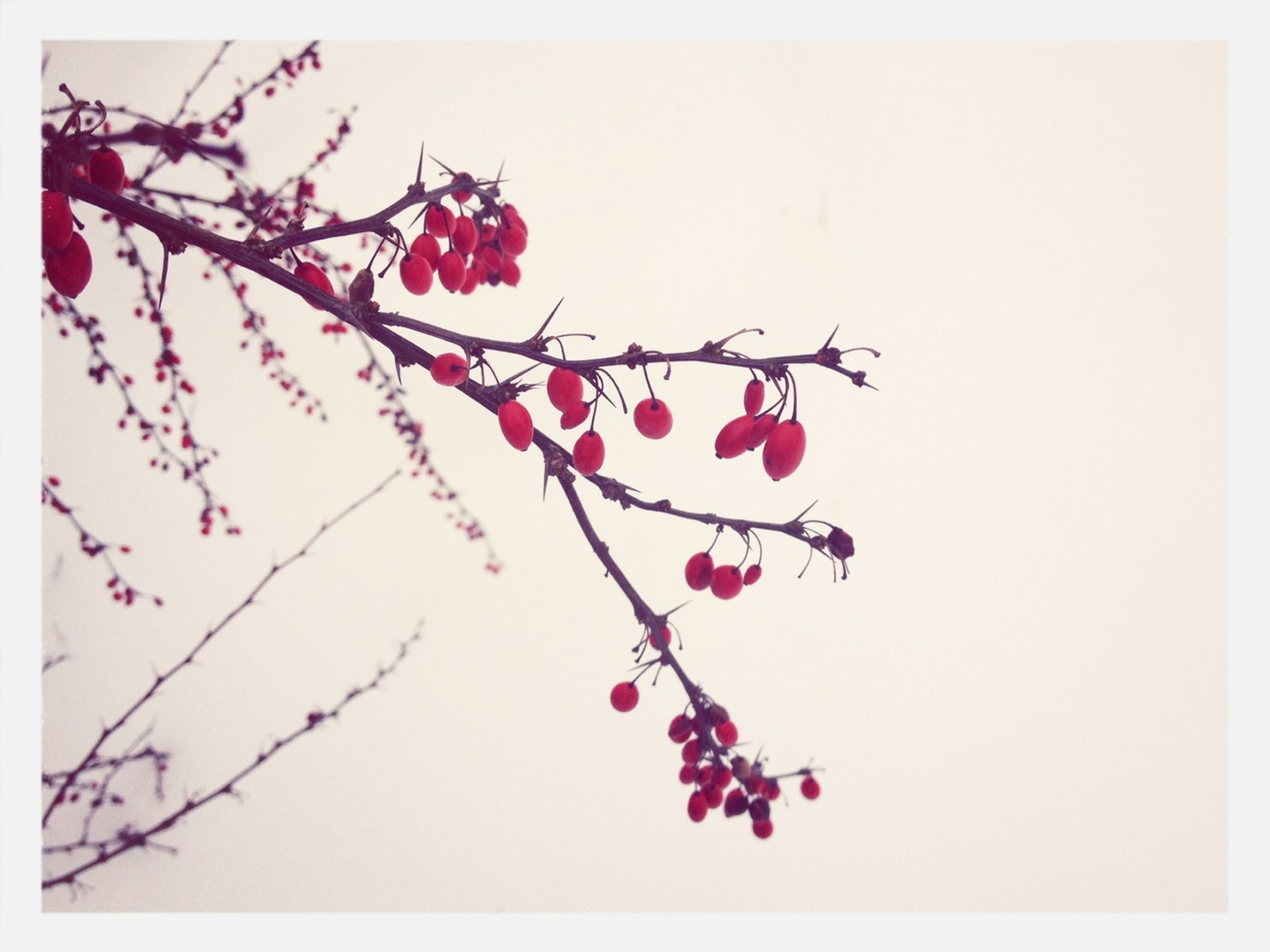 flower, freshness, transfer print, branch, red, growth, auto post production filter, beauty in nature, nature, clear sky, fragility, twig, pink color, stem, tree, copy space, close-up, leaf, blossom, no people