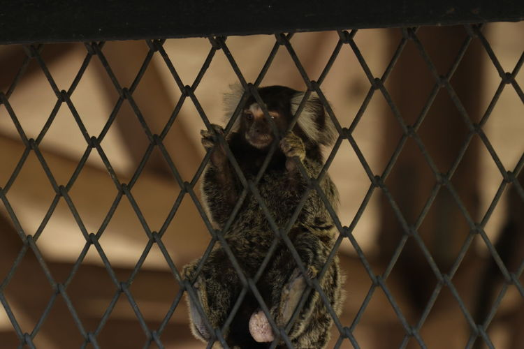 Monkey in cage seen through chainlink fence at zoo