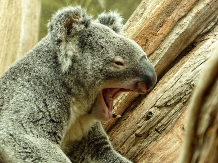 Goodnight One Animal Animal Themes Animals In The Wild Koala Getting Inspired Eye4photography  From My Point Of View Leipzigerzoo Germany EyeEm Gallery Portrait Animalphotography Animalportrait Animalplanet Sleeping Sleeptime Sleeptime😴
