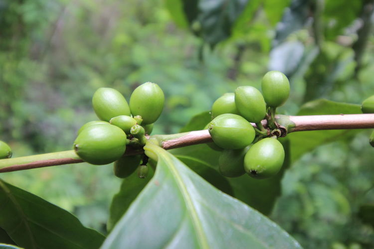 Close-up of coffee crops growing at farm