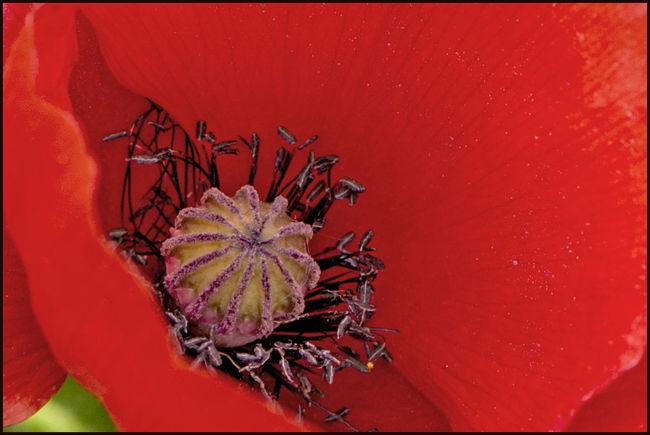 Katschmohn Blooming Botany Day Flower Klatschmohn 🍀 Macro Mohn Mohnblume Outdoors Plant Poppy Poppy Flowers Red Rot