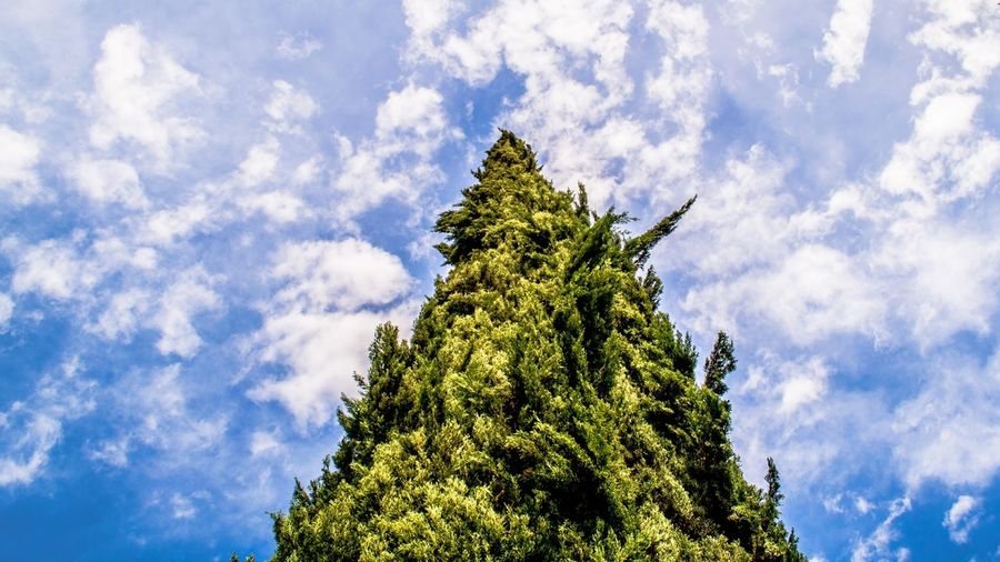 Fir Tree Rising Up in The Sky - From our 2-day tour in Los Angeles Blue California California Love Cat City Clouds First Eyeem Photo Friendlylocalguides Green Los-angeles Nature Nook Rise Sky Summer Summer-time Tree Up USA Visit