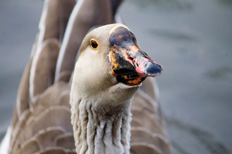 Close-Up Of Goose Swimming On Lake