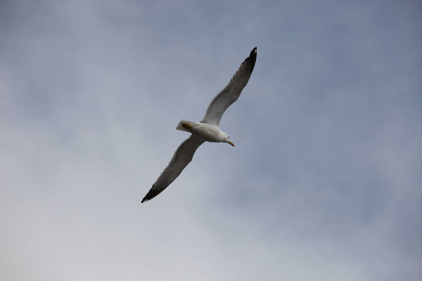 Animal Animal Themes Animal Wing Animals In The Wild Avian Beauty In Nature Bird Cloud - Sky Flight Flying Low Angle View Nature No People One Animal Outdoors Seagull Sky Spread Wings Tranquility Wildlife Zoology