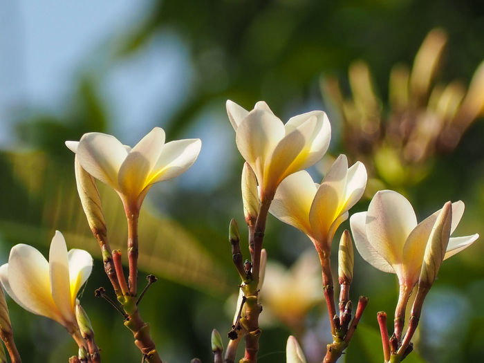 White and yellow petal of plumeria flower blooming on blurry background Plumeria White Yellow Spa Petal Flora Floral Blossom Nature Beauty Garden Blooming Flower Springtime Close-up Plant Plant Life Botany Blossom Botanical Garden