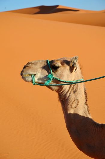 Camel In Desert Against Clear Sky