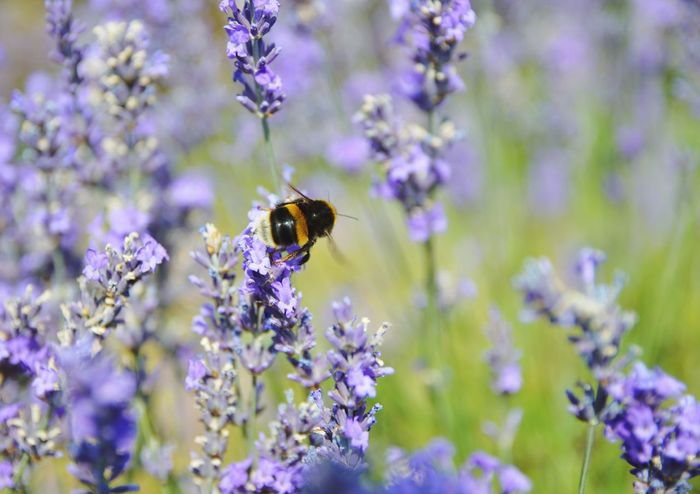 Flower Insect Lavender Nature Purple Growth Bee Outdoors