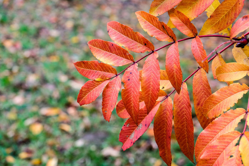 Leaves turning red during autumn Orange Red Tree Autumn Beauty In Nature Branch Branches And Leaves Change Close-up Day Focus On Foreground Fragility Freshness Growth Leaf Nature No People Outdoors Plant Season  Seasonal