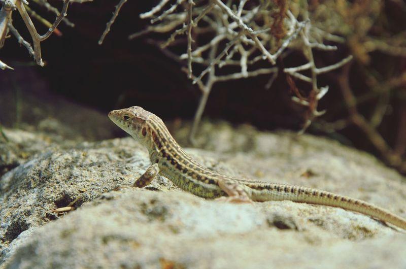 Animals Lizard Cyprus