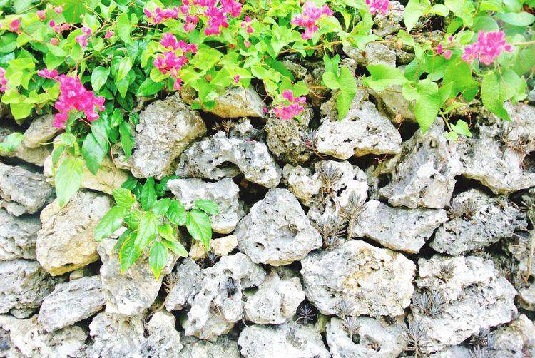 in Ishigaki  Okinawa Japan Flower Stone Wall Pink Nature White