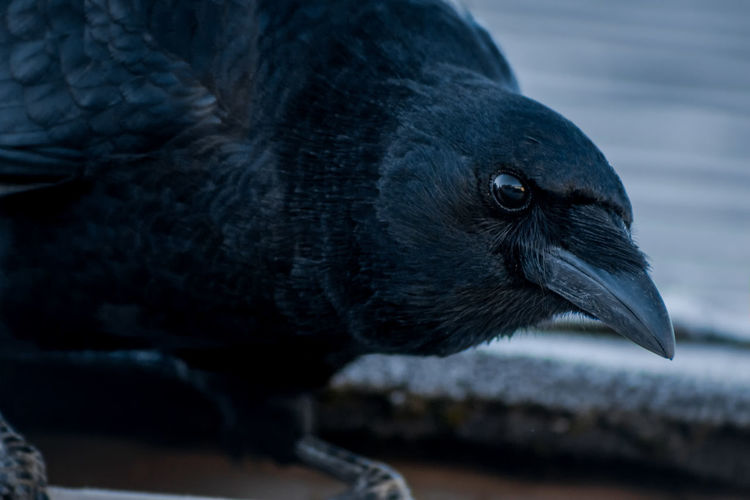 Close-up of raven perching outdoors