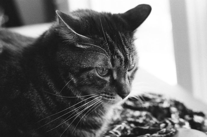 35mm Film Black & White Blackandwhite Photography Cat Film Photography Filmcamera Grumpy Face I Shoot Film
