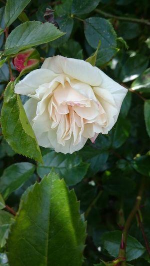 White Rose...