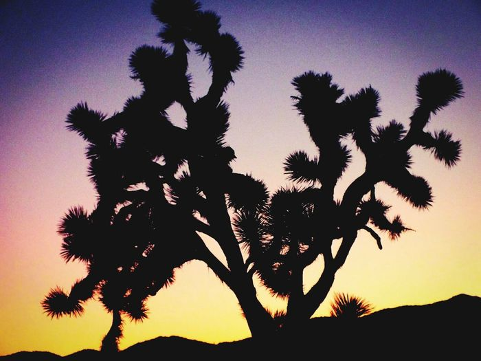 Tree Silhouette Sunset Nature Beauty In Nature No People Palm Tree Scenics Outdoors Sky Star - Space Nature Fragility Beauty In Nature Landscape Majestic_earth_ Day Desrt Scenes Joshua Tree National Park Plant Tree The Street Photographer - 2017 EyeEm Awards