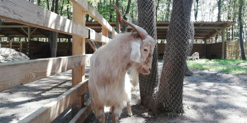 Goat Zoo Fence