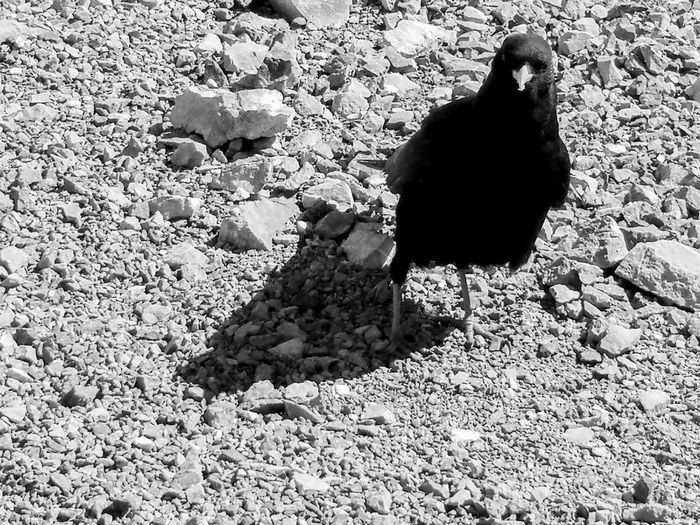Magpie Magpie Blackandwhite Blackandwhite Photography Bw Day Rocks Birds Wildlife Black Wing Black Shadow Shadow Sunlight High Angle View Wild Animal
